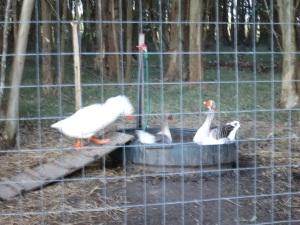 geese bath 1