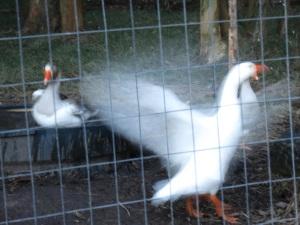 geese bath 3