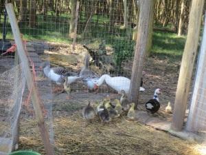 goslings 3