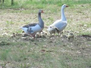 goslings 6