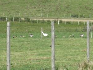 goslings 7
