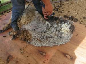 shearing 5