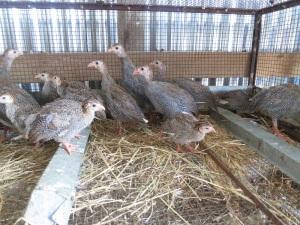 guinea hens