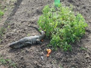 iguana and tomatoes