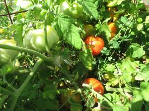 tomatoes 0