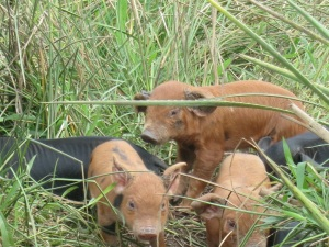 pigs 5  with babies