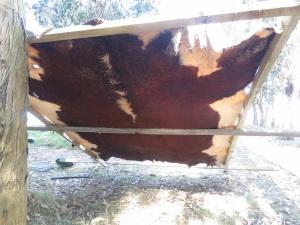 hide cow