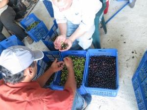 olive harvest 1