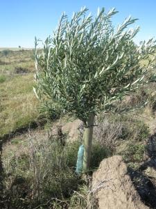 olive tree 2 medium