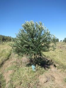 olive tree 3 big