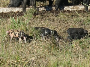 little baby pigs