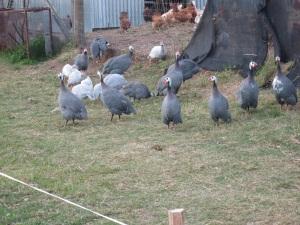 guineas 2