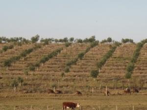 olive grove 1