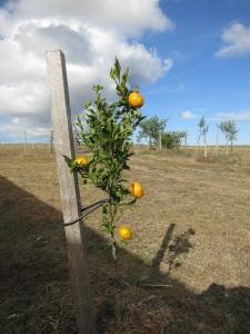 tangerines 1