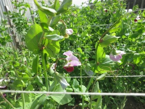 garden plots 6