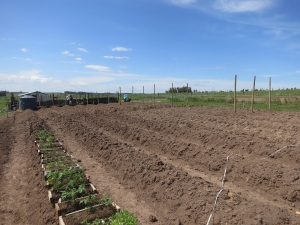 prepping tomato beds