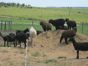 shearing sheep 1