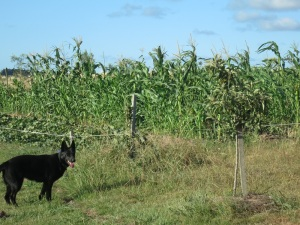 corn and pumpkin plot