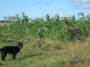 corn and pumpkin plot