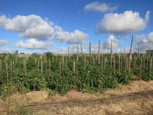 tomato field 1