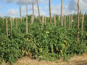 tomato field 2