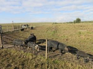 pig yard 1