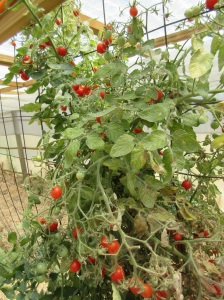 green-house-cherry-tomatoes