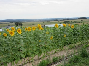 sunflower-plot-1
