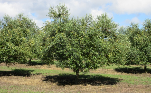 orchard arbequina 20210815
