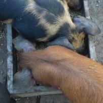 piglet inclusion 20210815